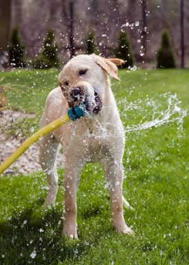Dog drinking water from a hose