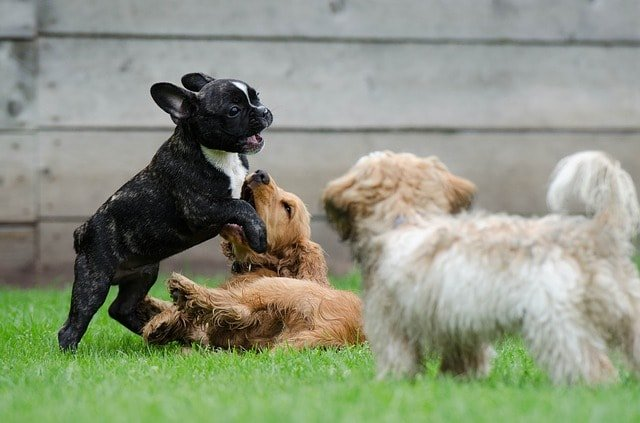 little dogs playing