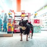 boston terrier shopping